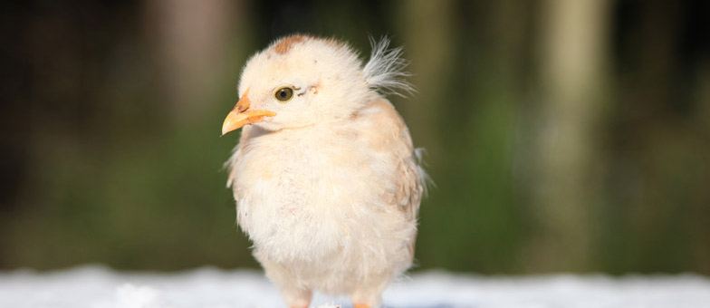 schneehühner-bio_gärtnerei