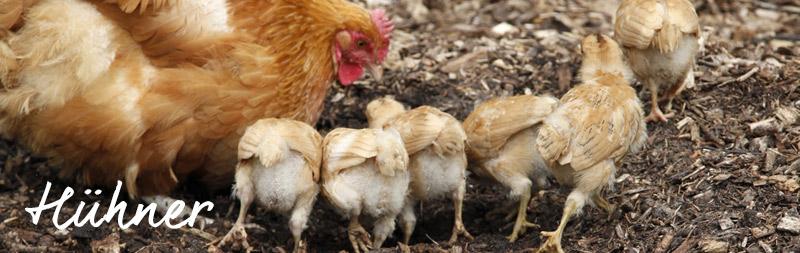 bio-gärtnerei-hühner