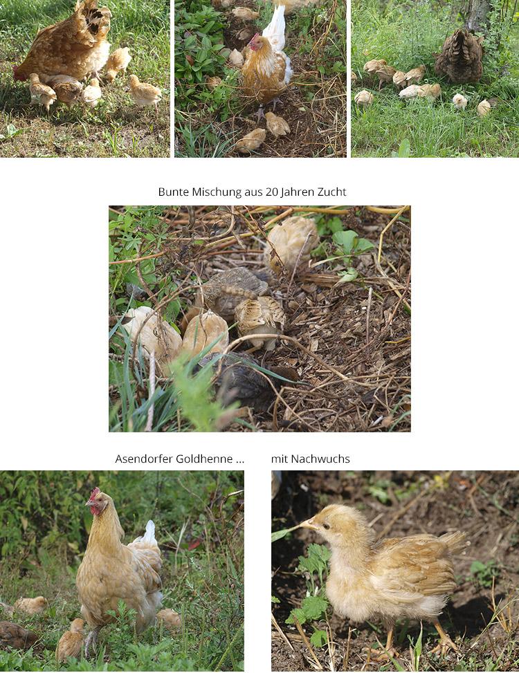 hühner-asendorf