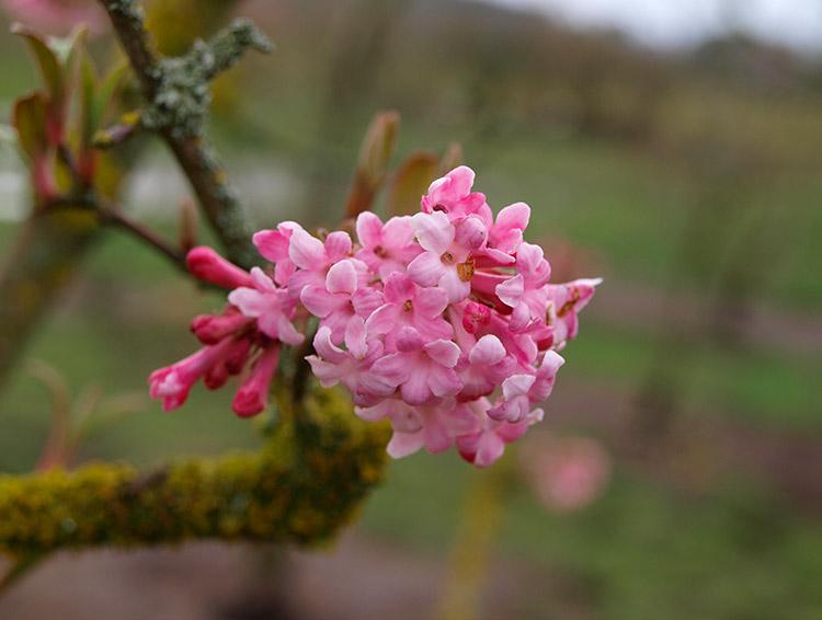 winterduftschneeball rosa
